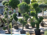 Формированные растения