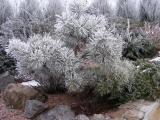 Сосны(Pinus)