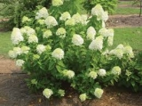 Гортензия метельчатая(Hydrangea paniculata)