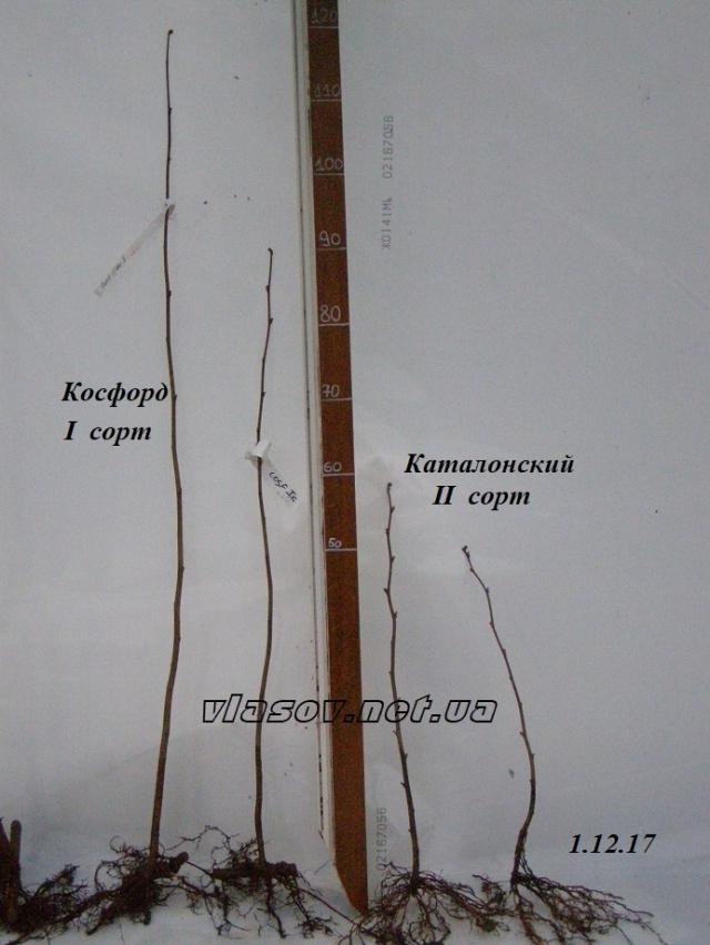 Фундук Косфорд