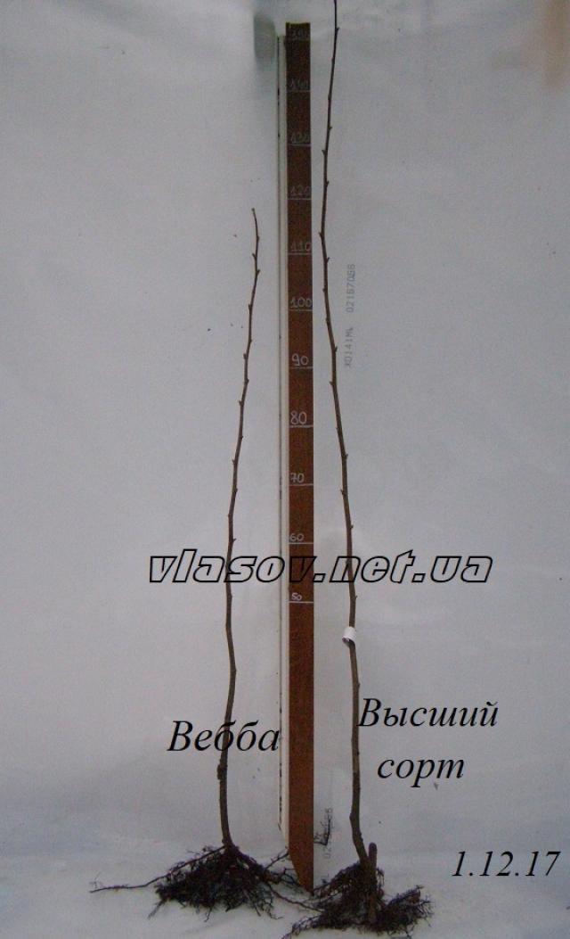 Фундук Вебба