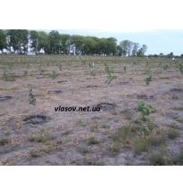 Сад фундука