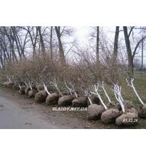 Саженцы-деревья фундук Каталонский