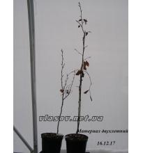 Бук лесной Fagus sylvatica